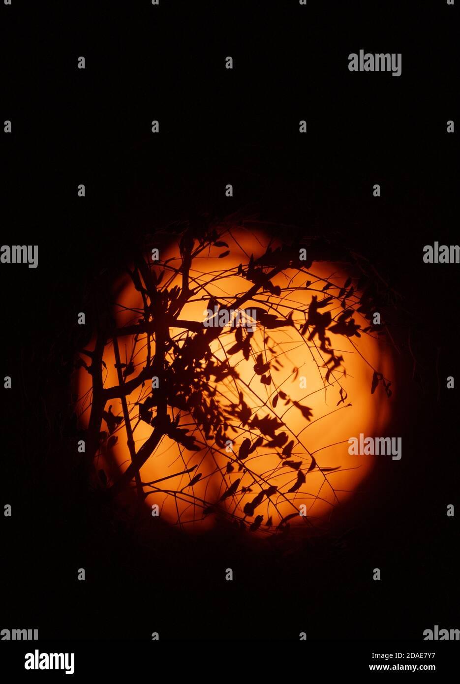 Londra, Regno Unito. 12 novembre 2020. Il Sole fotografato con un filtro solare a luce bianca attraverso rami autunnali. Credit: Malcolm Park/Alamy Live News. Foto Stock