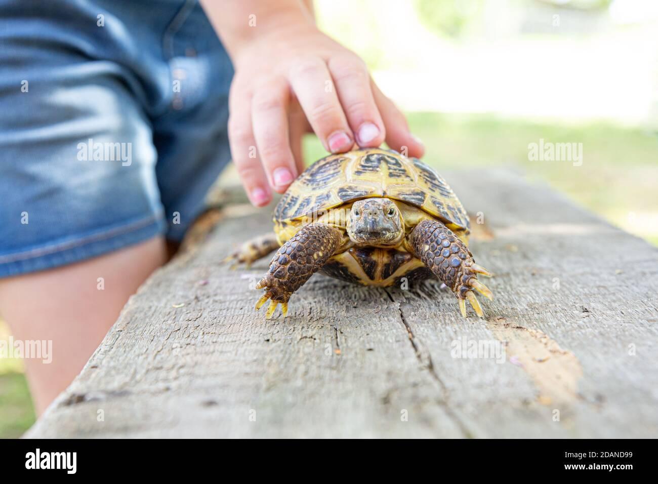 Le tartarughe terrestri dell'Asia centrale strisciano su una tavola di legno e si affaccia sulla telecamera. Il bambino tiene con la mano una tartaruga per il guscio. Prendendosi cura del vostro Foto Stock