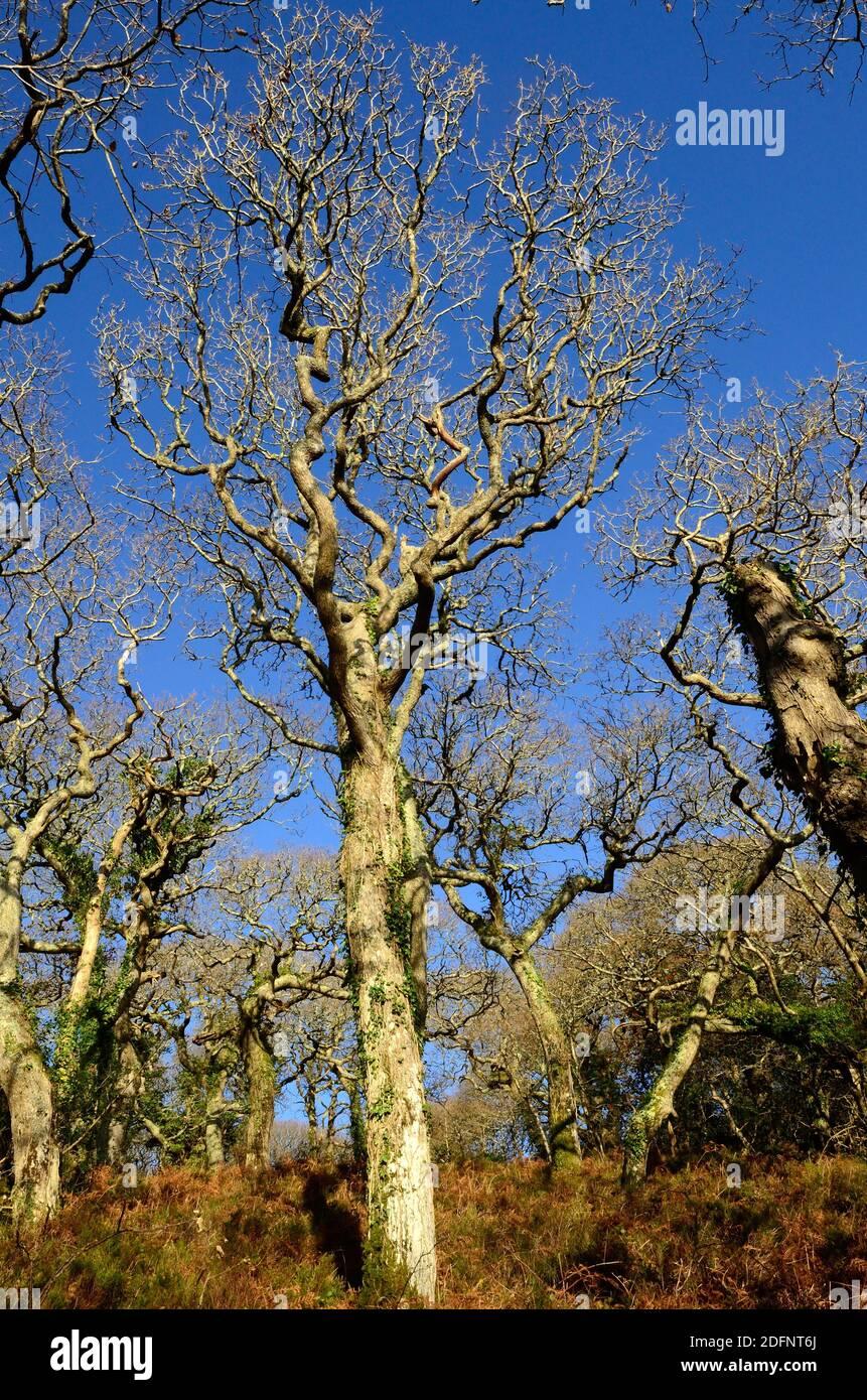 Ritorto alberi di quercia invernale in un antico bosco gallese Lawrenny Antico bosco di quercia Pembrokeshire Galles Cymru UK Foto Stock