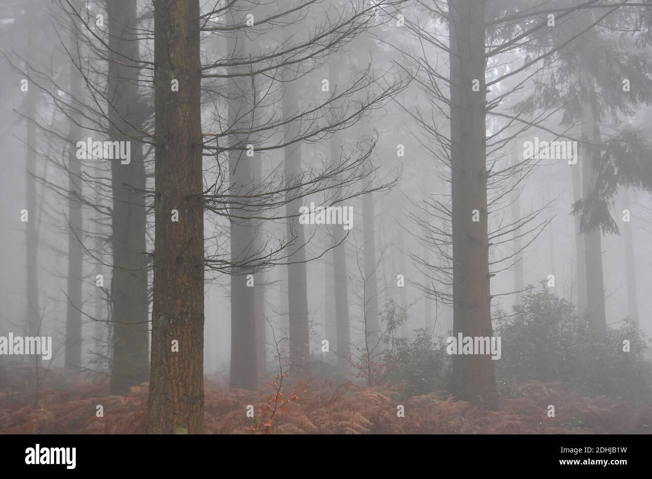 Stock immagini di nebbia in bosco - North Downs vicino West Horsley, Surrey.- Dick Focks comune - Commissione forestale. L'immagine mostra nebbia, alberi, nebbia in questa pittoresca area di Surrey. Foto scattata il 7 dicembre 2020 Foto Stock