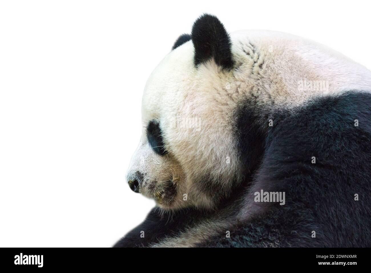 Immagine di panda isolato su sfondo bianco. Animam selvaggio. Foto Stock