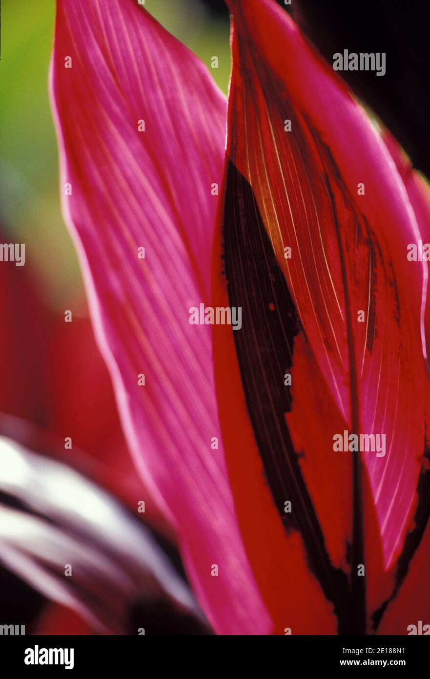 Red ti leaf closeup, backlit by sun Foto Stock