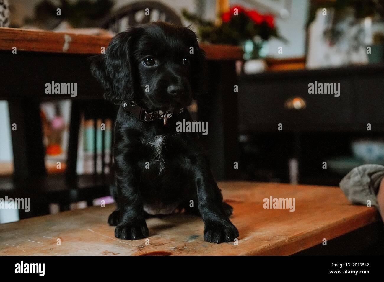 Cucciolo nero di spaniel coccatore di lavoro a casa Foto Stock