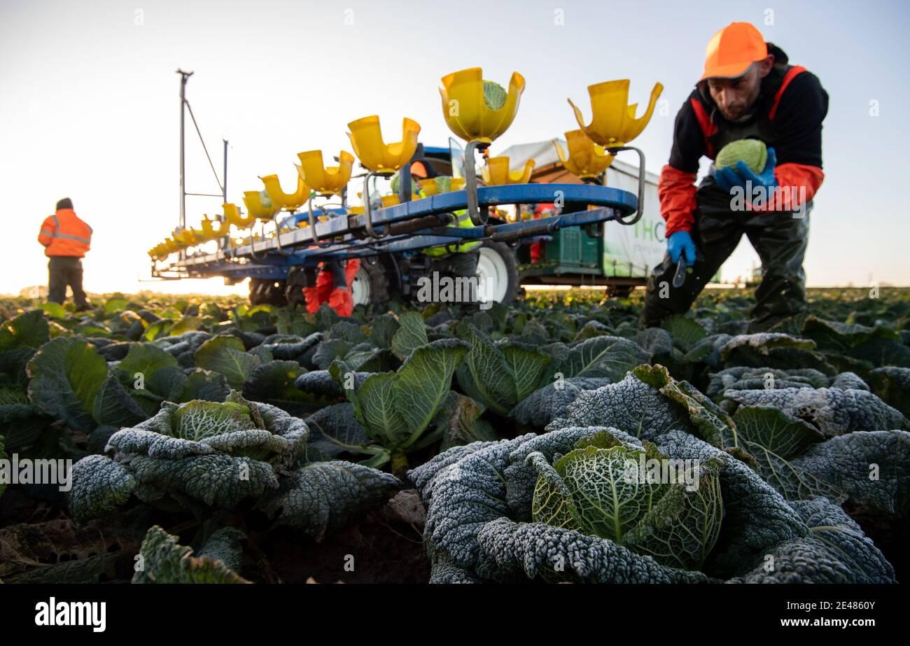 I lavoratori raccolgono i cavoli di savoy a TH Clements vicino Boston nel Lincolnshire. Data immagine: Venerdì 22 gennaio 2021. Foto Stock