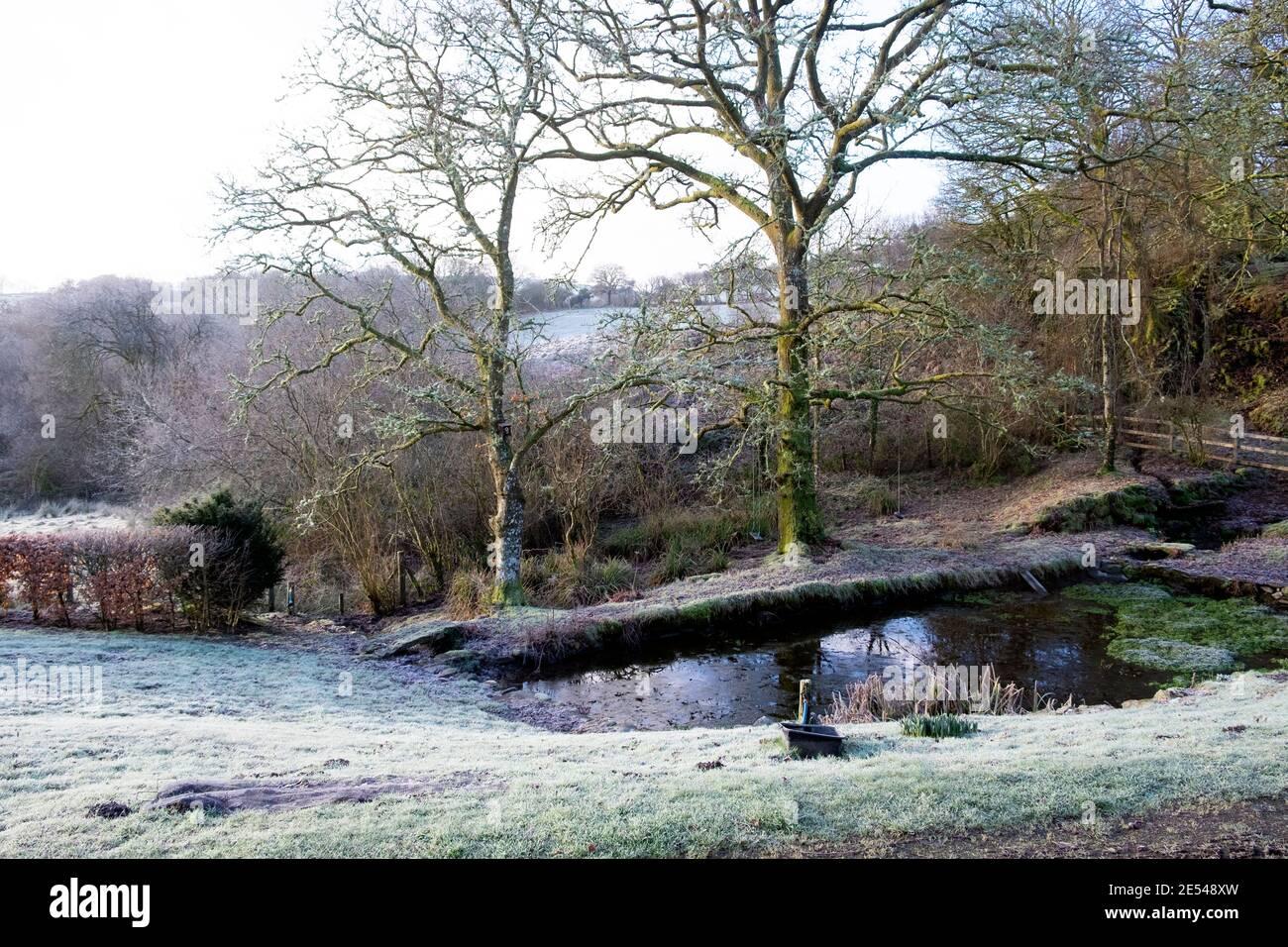Gelo su prato, laghetto giardino, lichen su querce in bel paesaggio invernale gelido paese gennaio 2021 Carmarthenshire Galles occidentale Regno Unito KATHY DEWITT Foto Stock