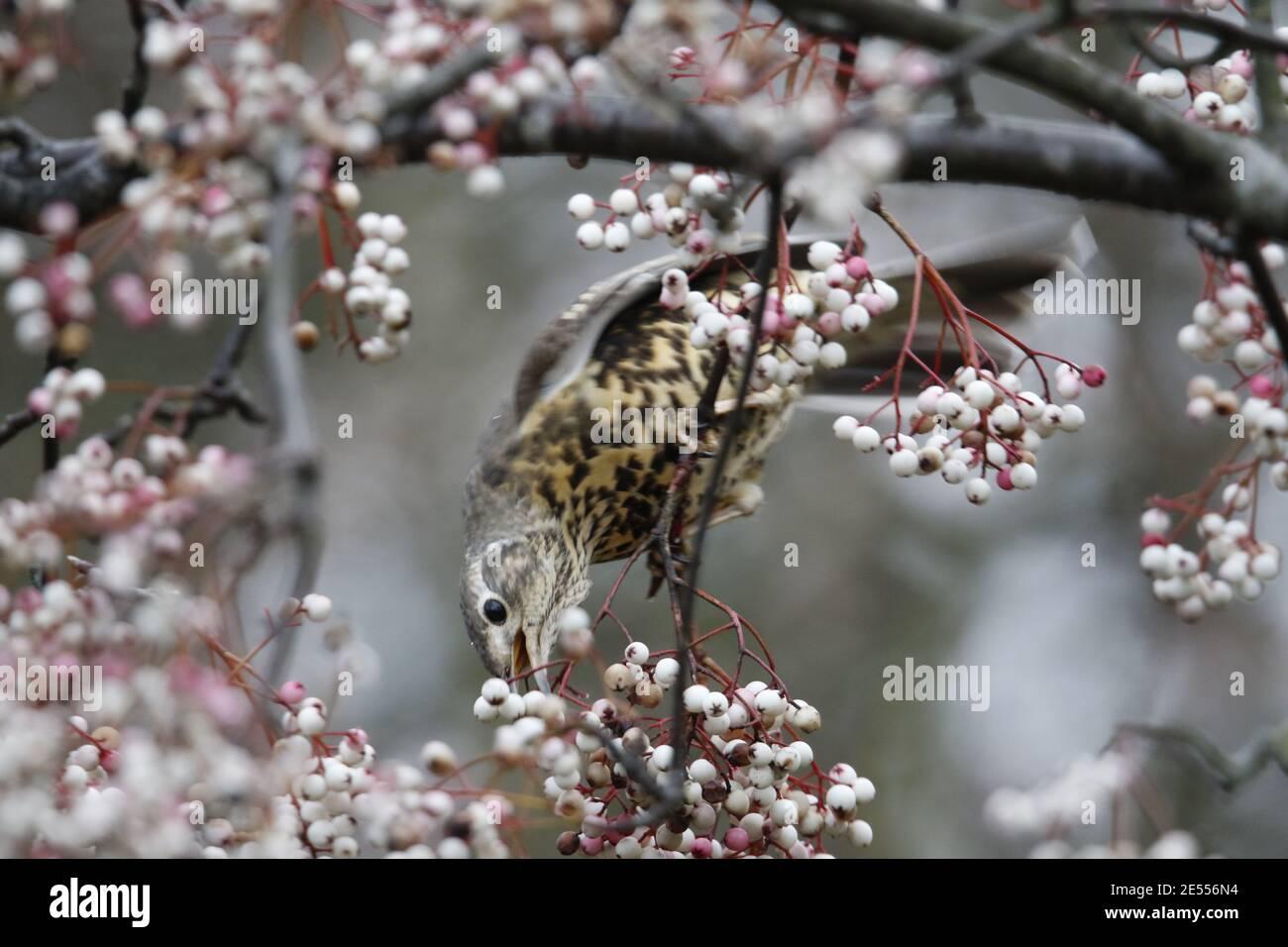 Mistle thrush che si nutre di frutti di bosco invernali Foto Stock