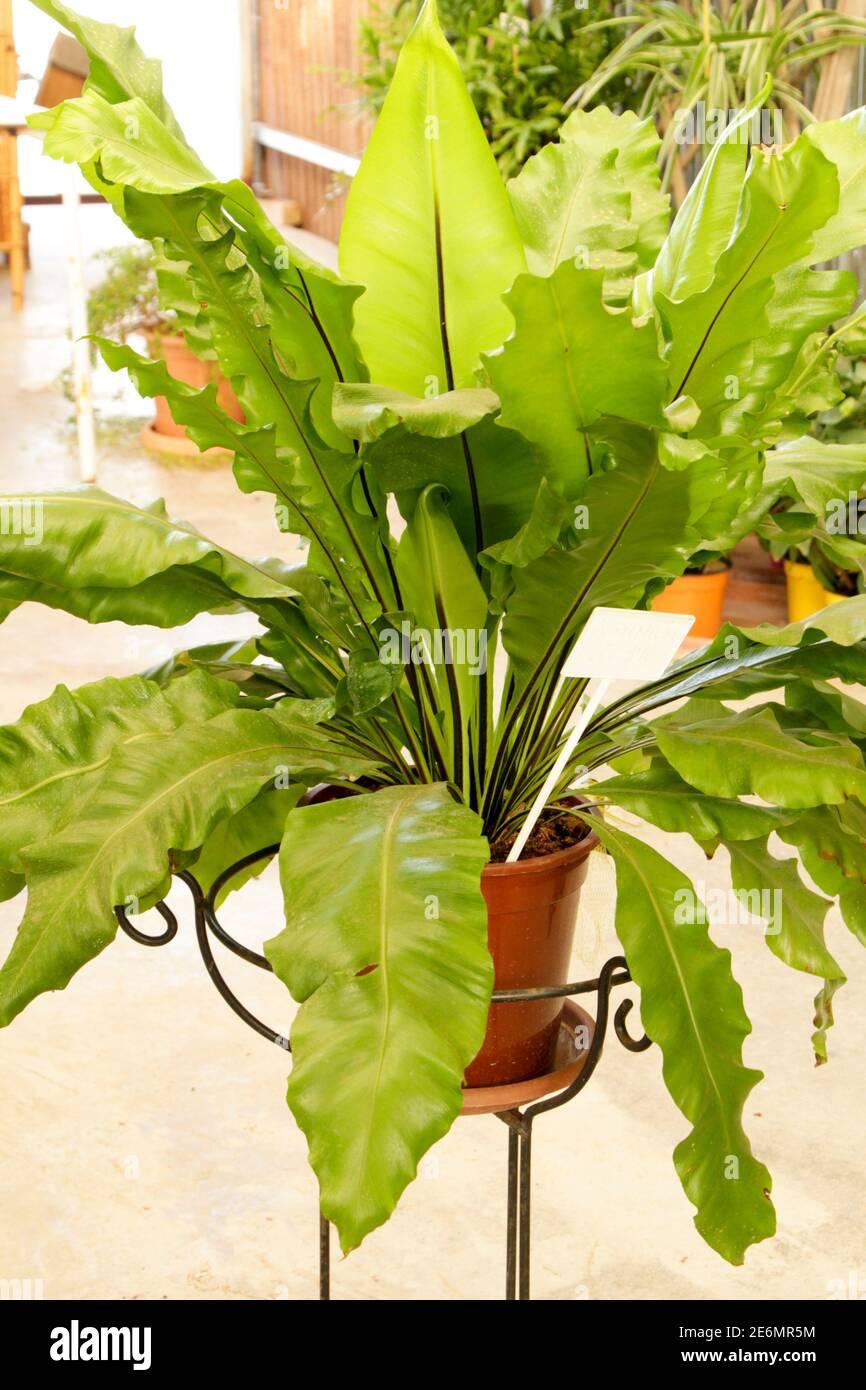 Bella pianta di Asplenium Nidus nel giardino sotto il sole Foto Stock