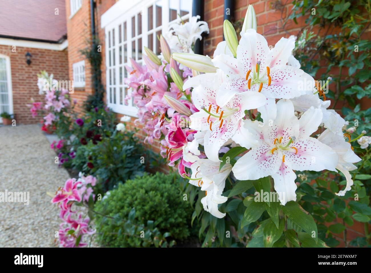 Gigli orientali, giglio di Muscadet in un confine fiorito, giardino inglese, Regno Unito Foto Stock