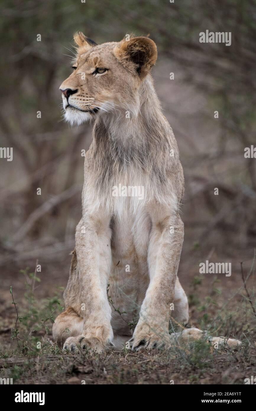 Leone cucciolo, Panthero leo, Kruger National Park, Sudafrica Foto Stock