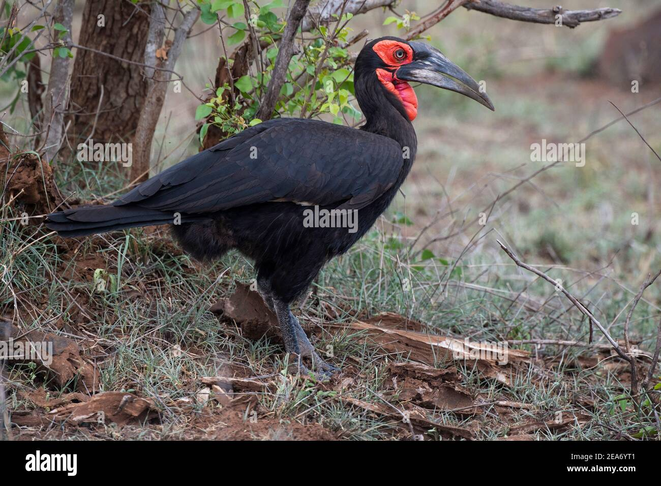 Massa meridionale hornbill, Bucorvus leadbeateri, Kruger National Park, Sud Africa Foto Stock