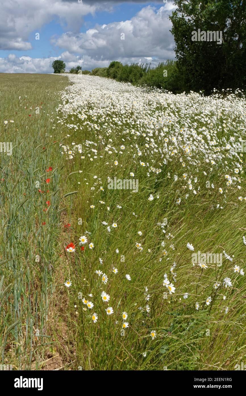 Margherite Oxeye / Marguerite (Leucanthemum vulgare) fioritura in un bordo di fiori di conservazione accanto ad un raccolto misto Di Barley (Hordeum vulgare) e grano Foto Stock