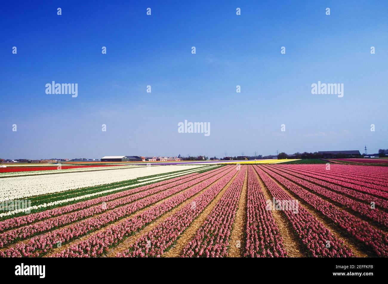 Vista panoramica dei fiori in un campo, Amsterdam, Paesi Bassi Foto Stock
