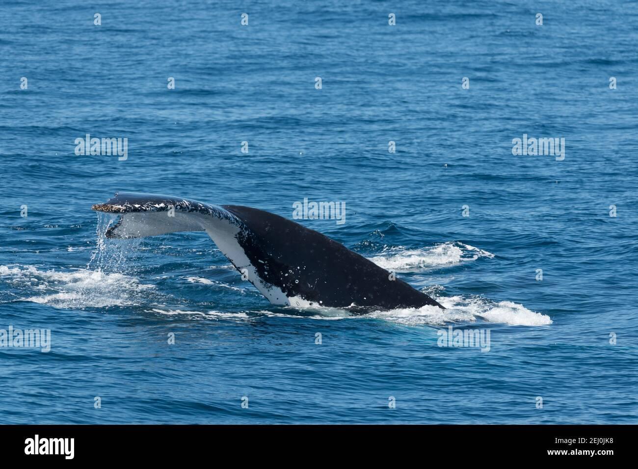 Avvistamento di balene megattere, Merimbula Bay, nuovo Galles del Sud, Australia. Foto Stock