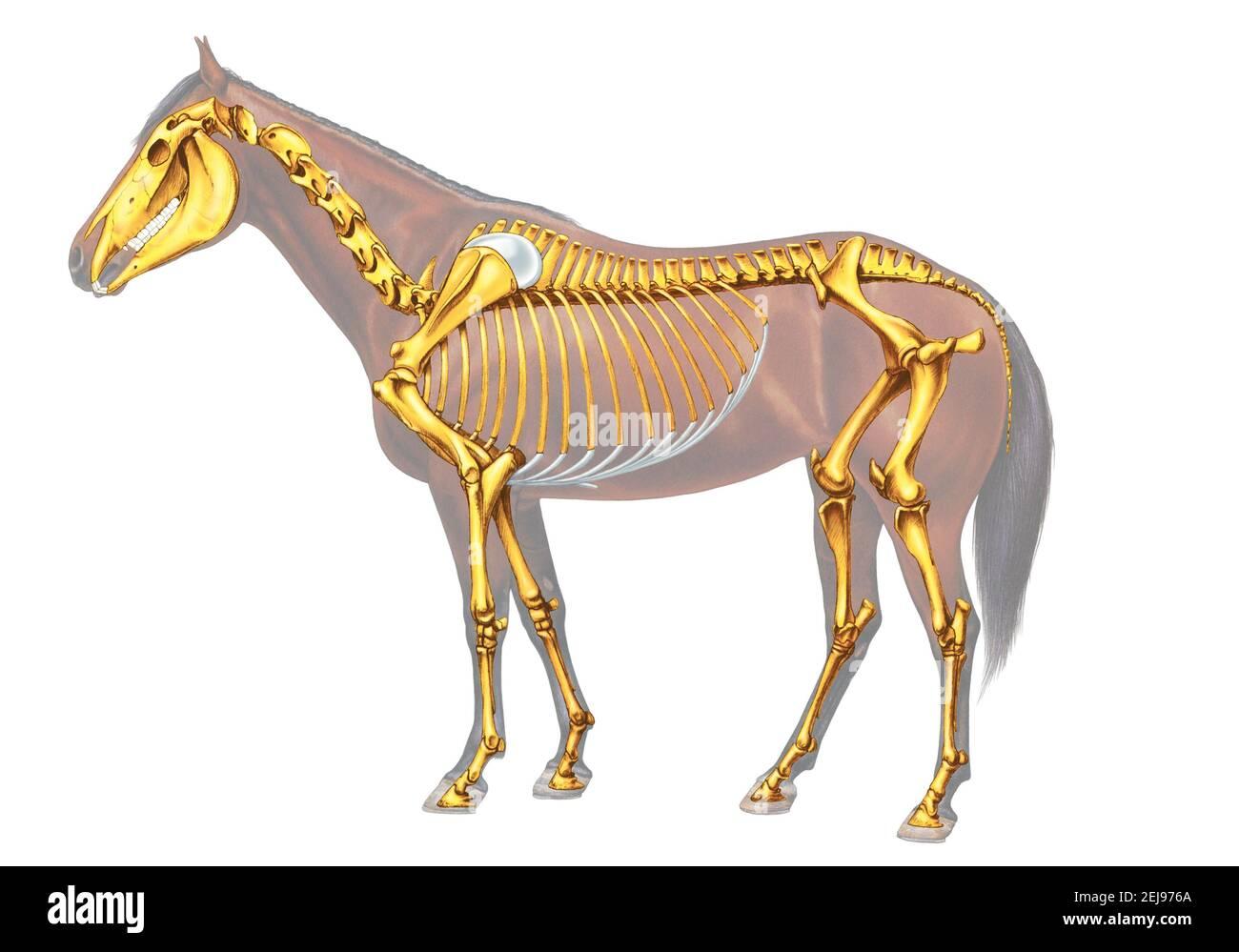 Scheletro del cavallo Foto Stock