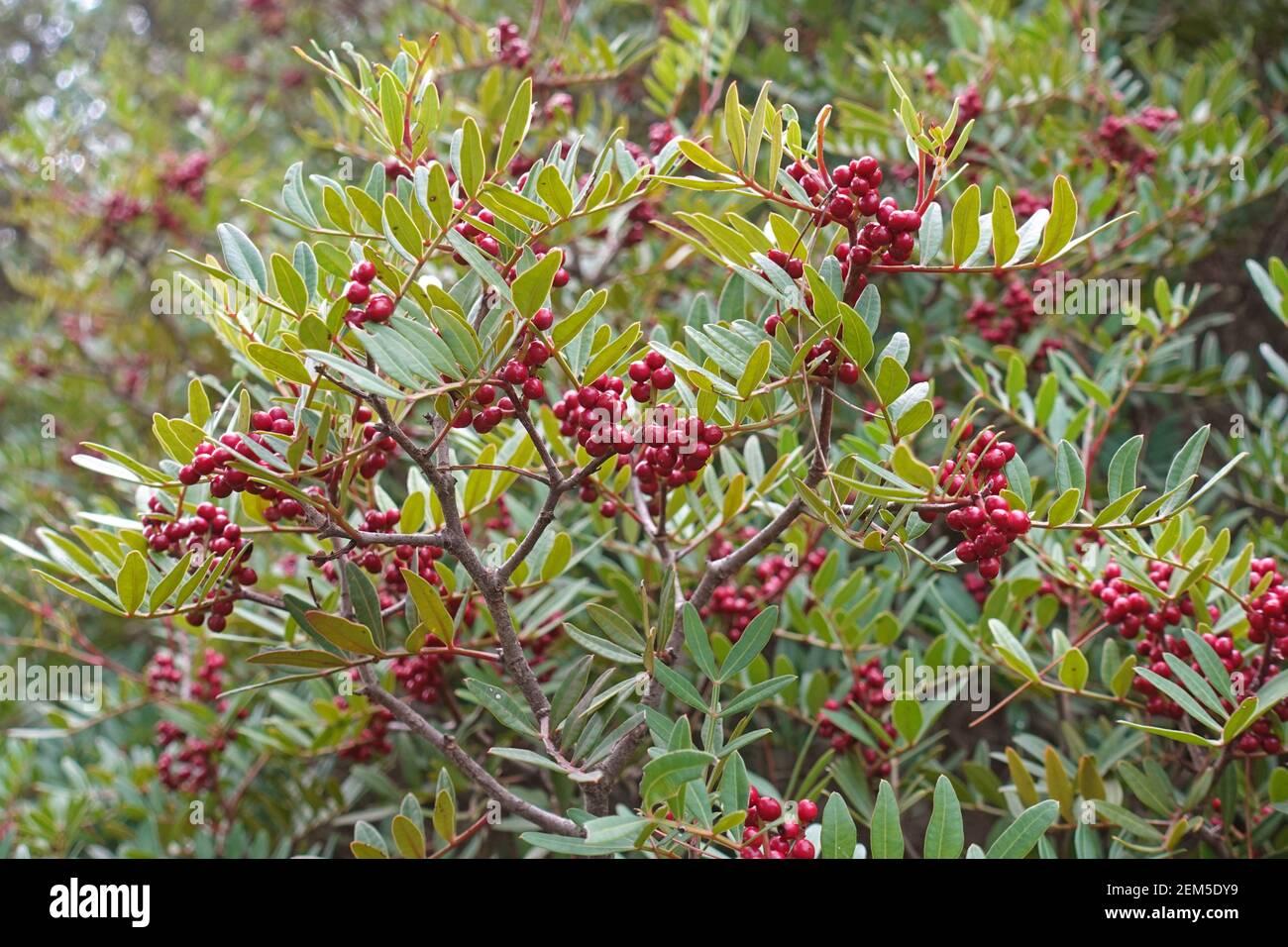 Pianta arbusto di Cotoneaster con palle rosse di frutta e foglie verdi. Foto Stock
