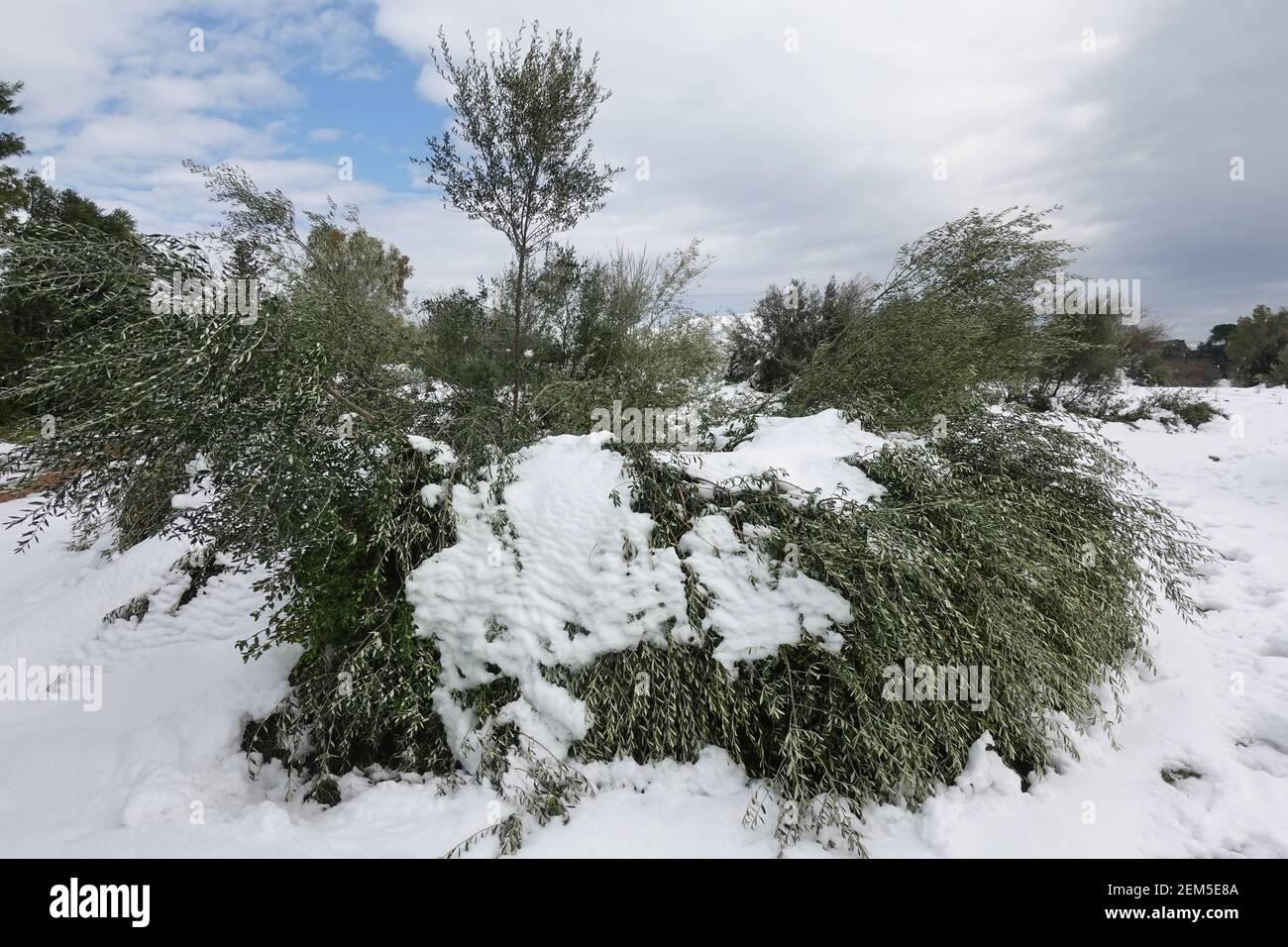 Olivi appiattiti sotto la neve dopo la tempesta di neve. Prodotto danneggiato. Foto Stock