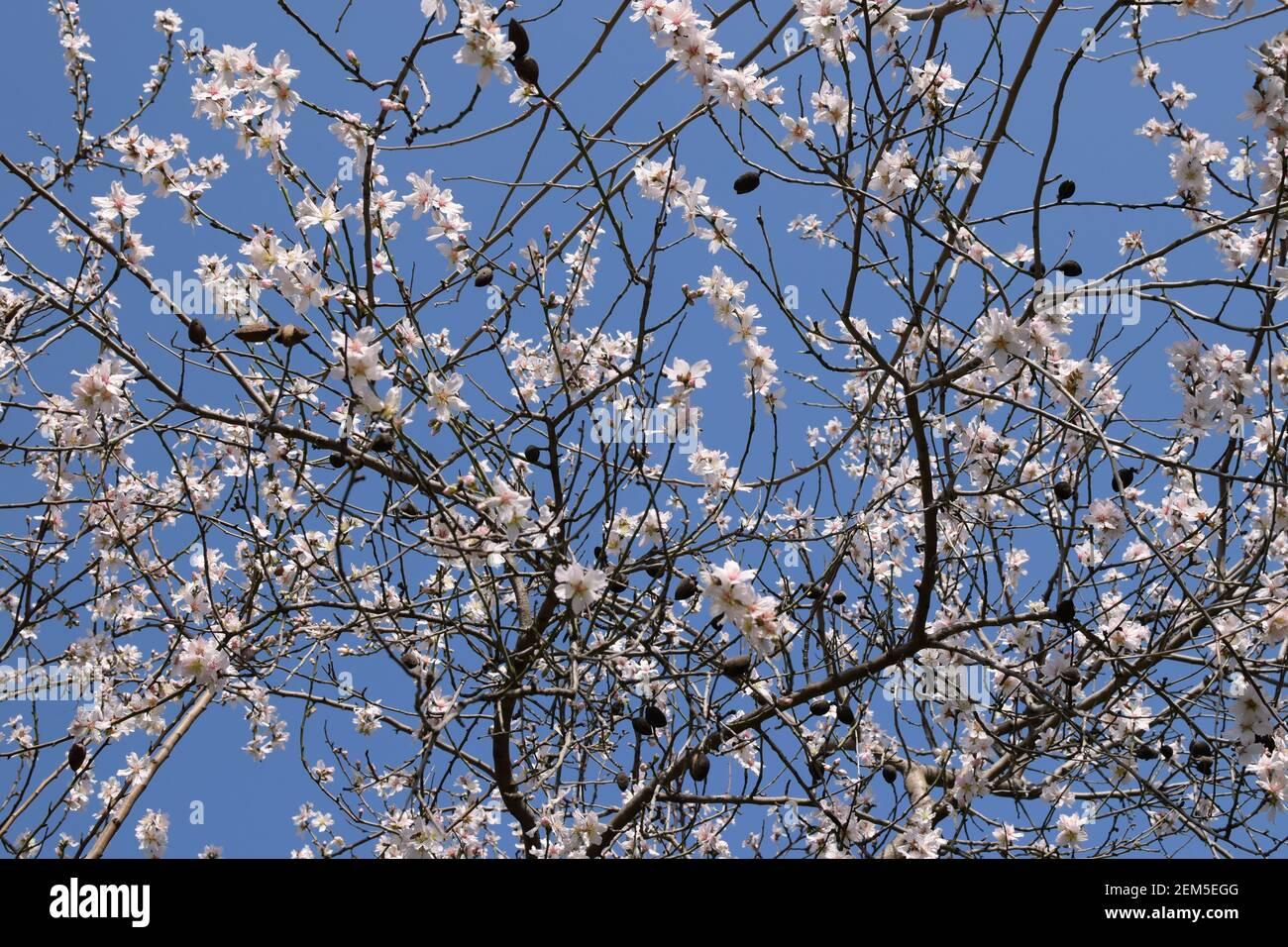 Mandorla con fiori e mandorle sotto il cielo blu all'inizio di febbraio. Foto Stock