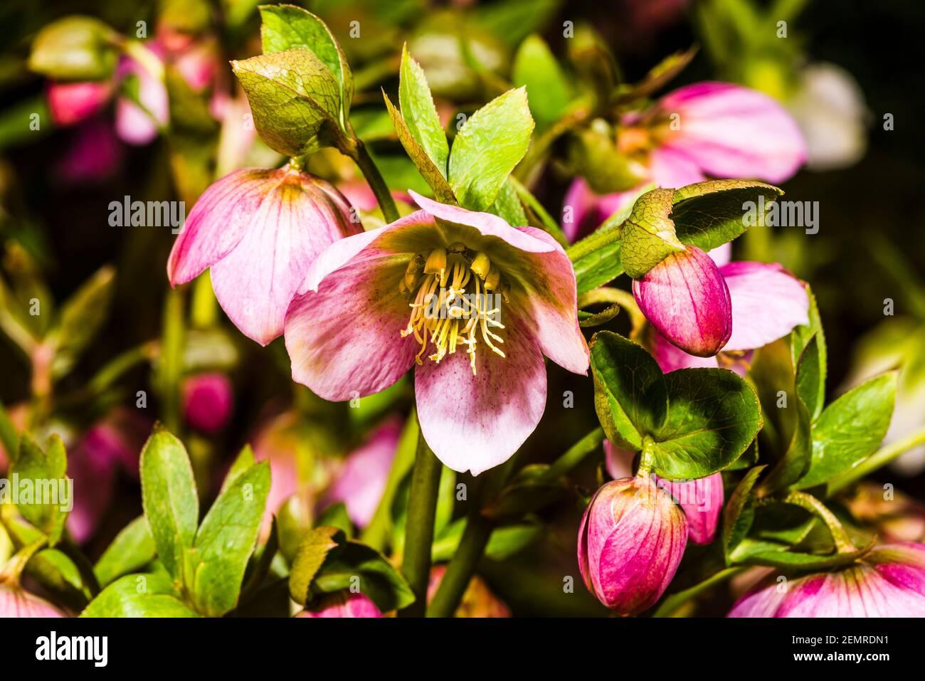 Primo piano di Helleborus orientalis viola in un giardino invernale a nord di Londra, Londra, Regno Unito Foto Stock
