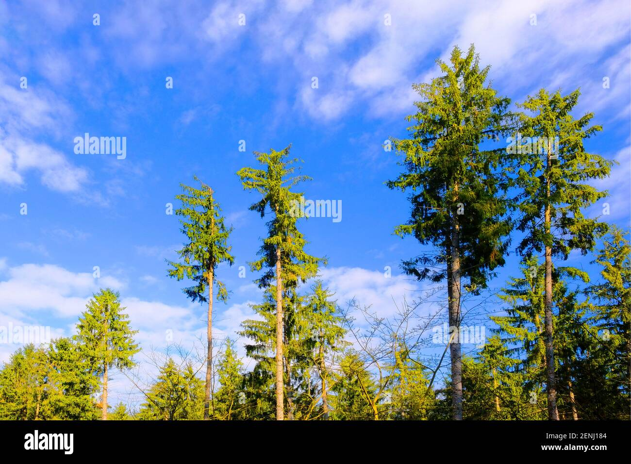 Nadelbaeume im Wald, Foto Stock