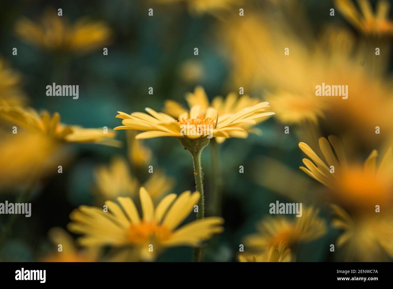 Doronicum orientale fiore giallo primo piano. Conosciuto anche come fiori di rovina del leopardo. Daisy come fiore, sfondo moody. Foto Stock