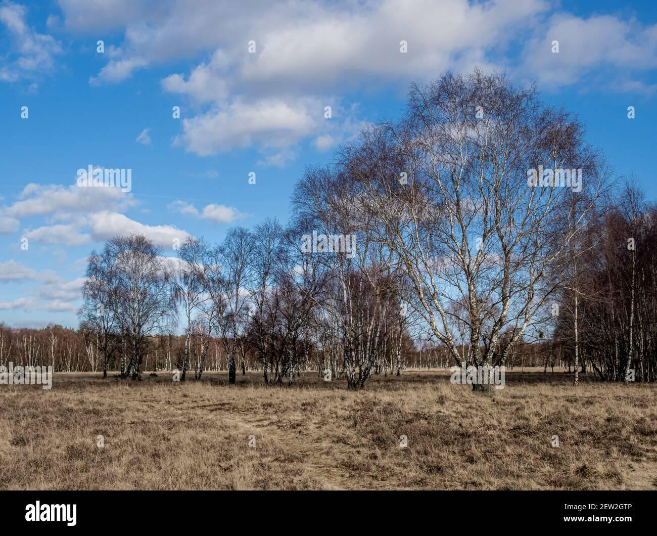 Alberi di betulla d'argento in inverno. Strensall Common, York, Regno Unito Foto Stock