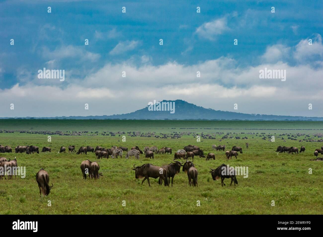 Salici (Connochaetes taurinus) e pianure zebre (Equus quagga) pascolo, Ngorongoro conservazione Area, UNESCO, Serengeti, Tanzania Foto Stock
