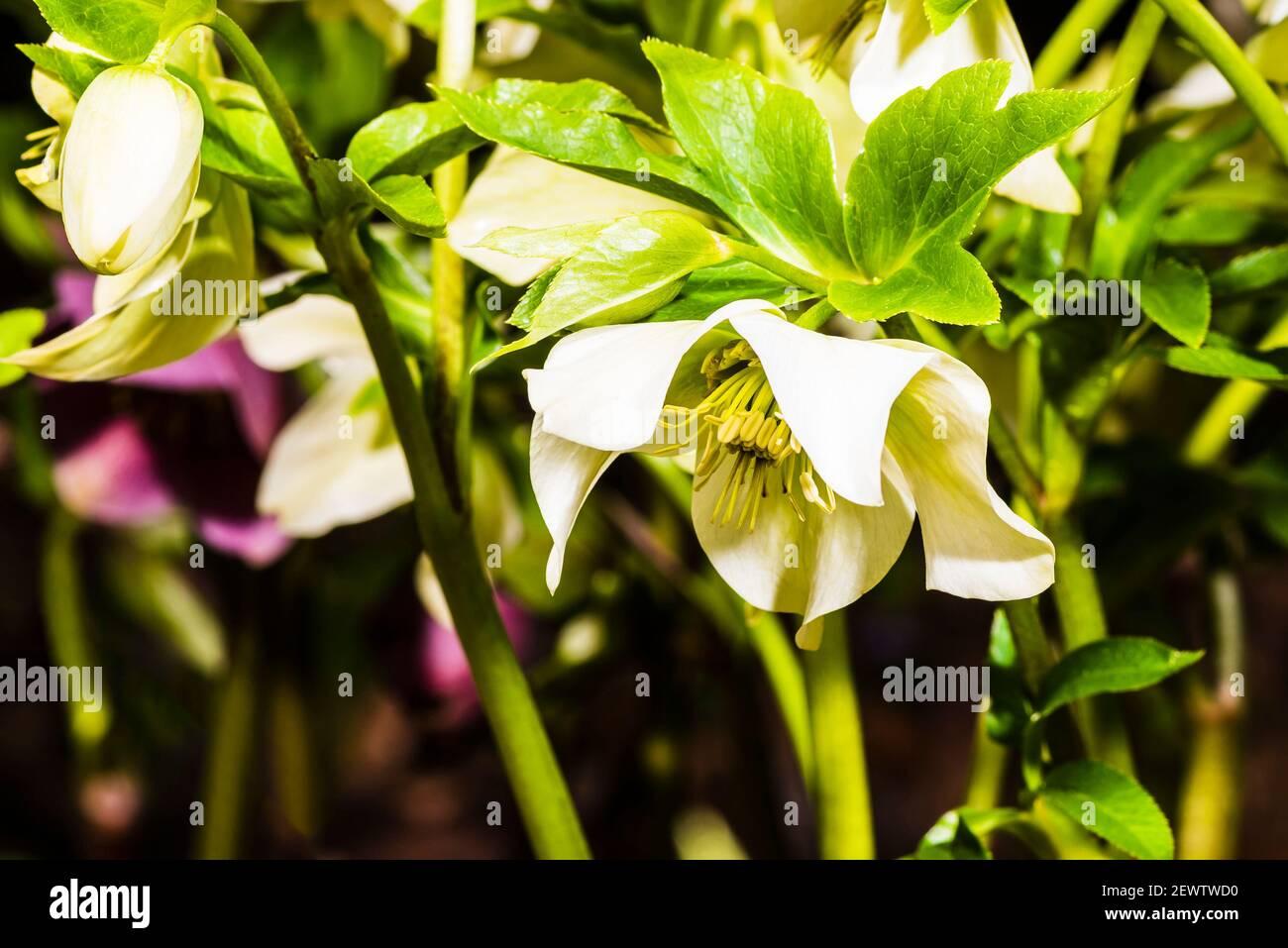 Primo piano di un Helleborus orientalis in un giardino a nord di Londra, Londra, Regno Unito Foto Stock
