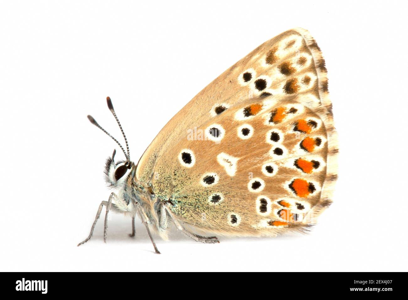 Adonis Blue (Lysandra bellargus) su sfondo bianco, Remuzat, Drome, Provenza, Francia Foto Stock