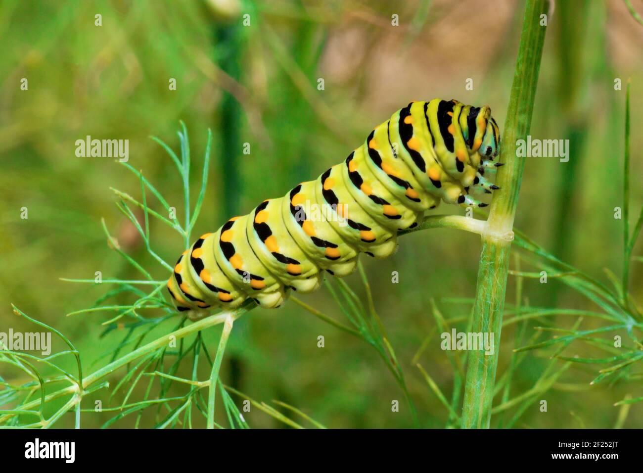 Un Larva Swallowtail nero che si nutra su aneto in un giardino di casa nella Pennsylvania orientale. Foto Stock