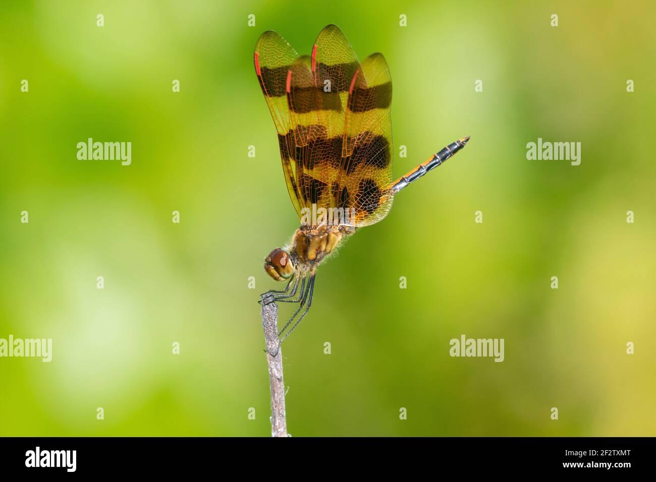 06579-00815 Halloween Pennant (Celithemis eponina) maschio Marion Co. Il Foto Stock