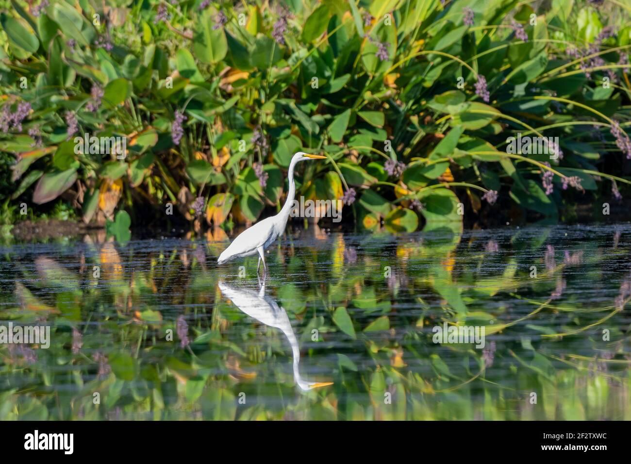 00688-03105 Grande Egret (Ardea alba) pesca vicino alla canna d'acqua (Canna glauca) nella zona umida Marion Co.il Foto Stock