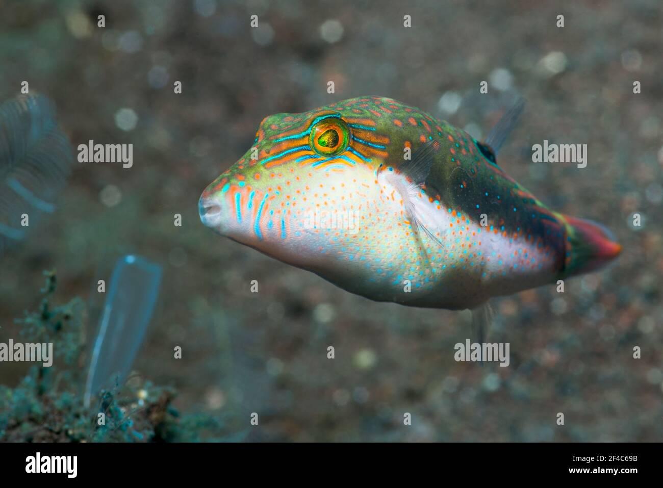 il toby di Bennett [Canthigaster bennetti]. Tulamben, Bali, Indonesia. Foto Stock