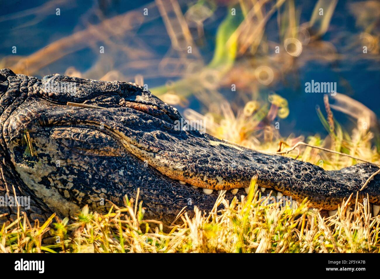 Primo piano della testa di un alligatore lungo un corso d'acqua a Shark Valley nel Parco Nazionale delle Everglades in Florida. Foto Stock