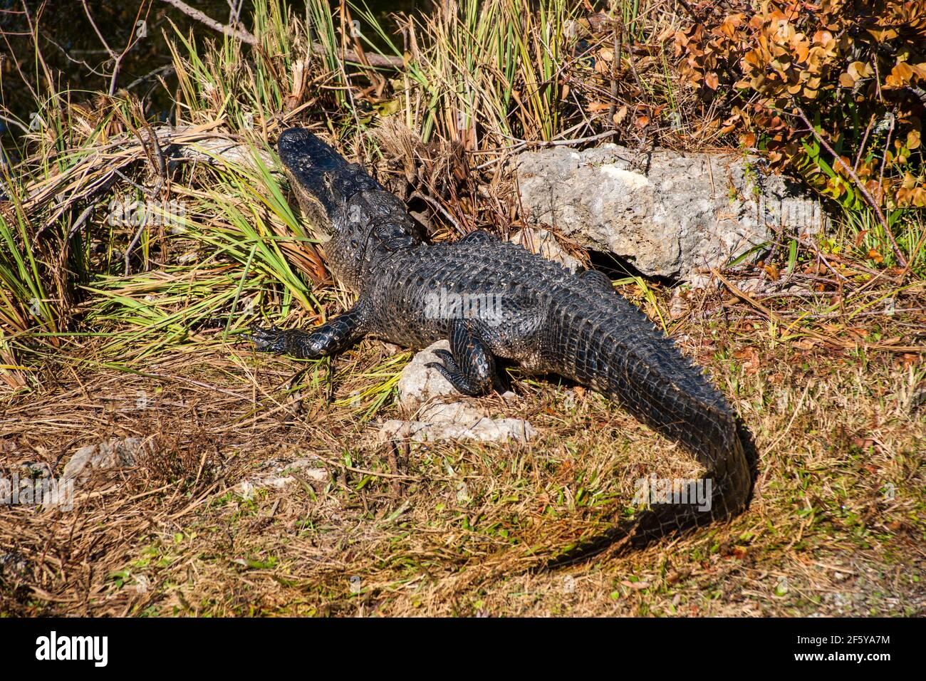 Un alligatore visto lungo un corso d'acqua a Shark Valley nel Parco Nazionale delle Everglades in Florida. Foto Stock