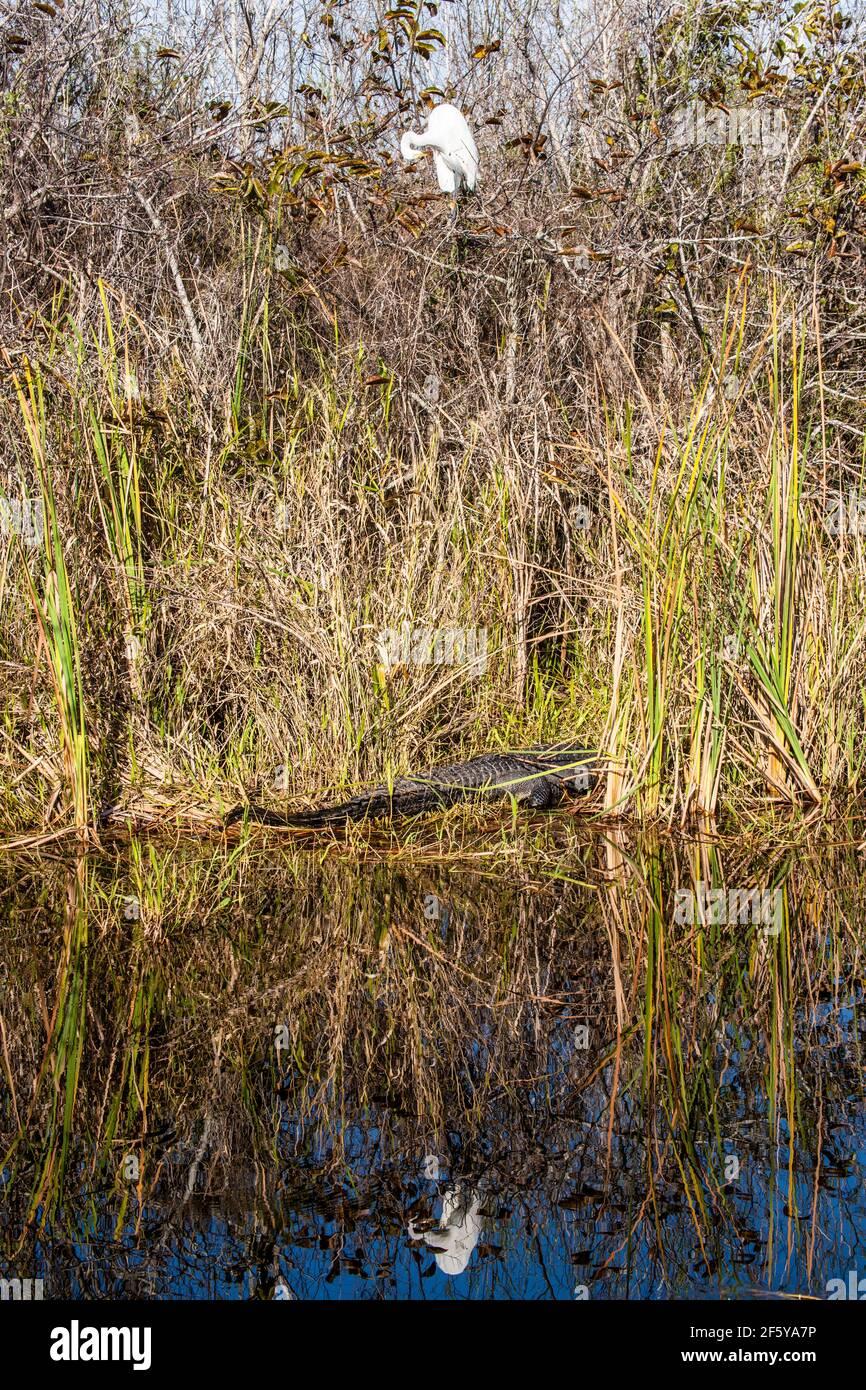 Un Grande Egret e il suo riflesso incorniciano un alligatore sulla riva di un corso d'acqua a Shark Valley nel Parco Nazionale delle Everglades in Florida. Foto Stock