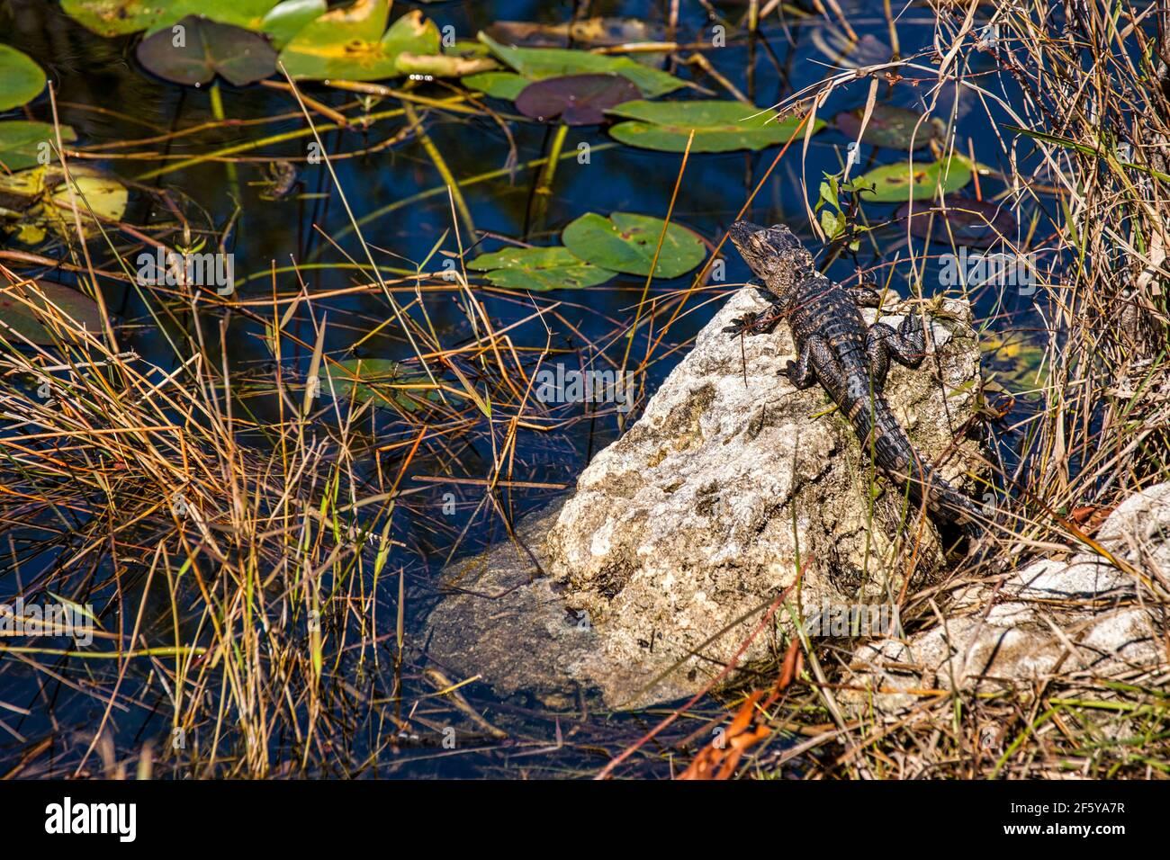 Un piccolo alligatore sdraiato su una roccia lungo un canale d'acqua a Shark Valley nel Parco Nazionale delle Everglades in Florida. Foto Stock