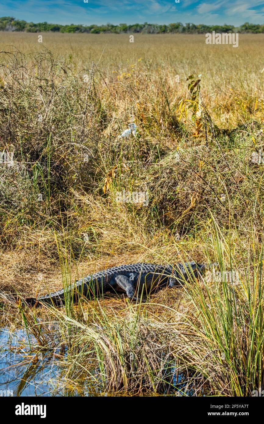 Un alligatore si ssole sulla riva di un corso d'acqua con garzette sullo sfondo a Shark Valley nel Parco Nazionale delle Everglades in Florida. Foto Stock