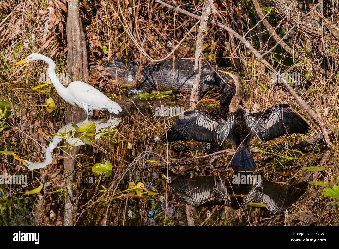 Great Egrets, Anhinga e un alligatore costituiscono una scena faunistica che include i loro riflessi nella Shark Valley nel Parco Nazionale delle Everglades in Florida. Foto Stock