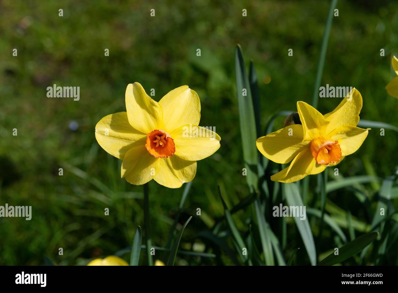 Due narcisi fioriti in primavera (2021) nel giardino inglese, Berkshire, Inghilterra, Regno Unito Foto Stock