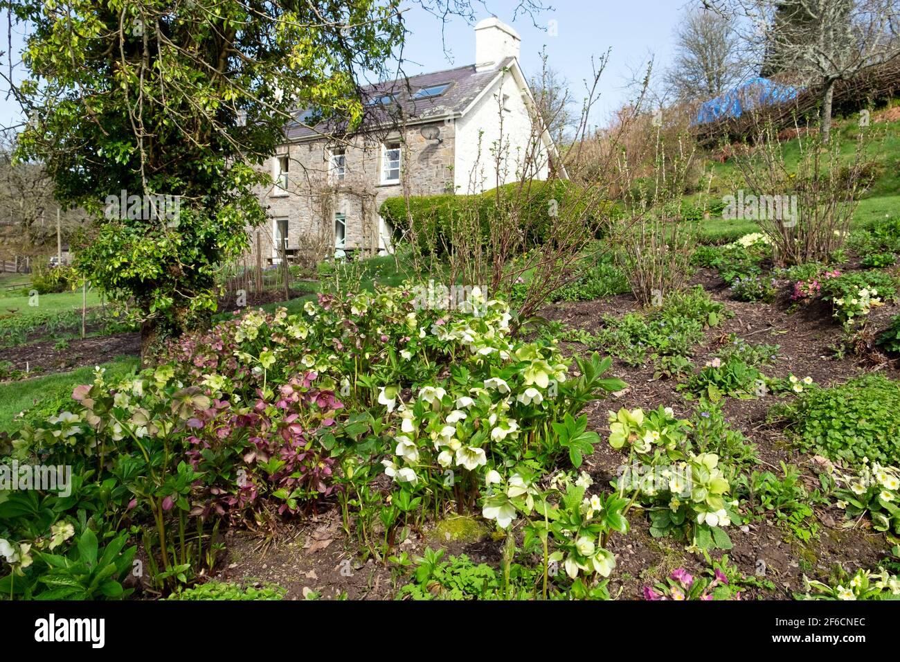Ellehoutes viola e bianco in fiore nel giardino cottage esterno Casa in primavera marzo 2021 Carmarthensshire Galles UK KATHY DEWITT Foto Stock