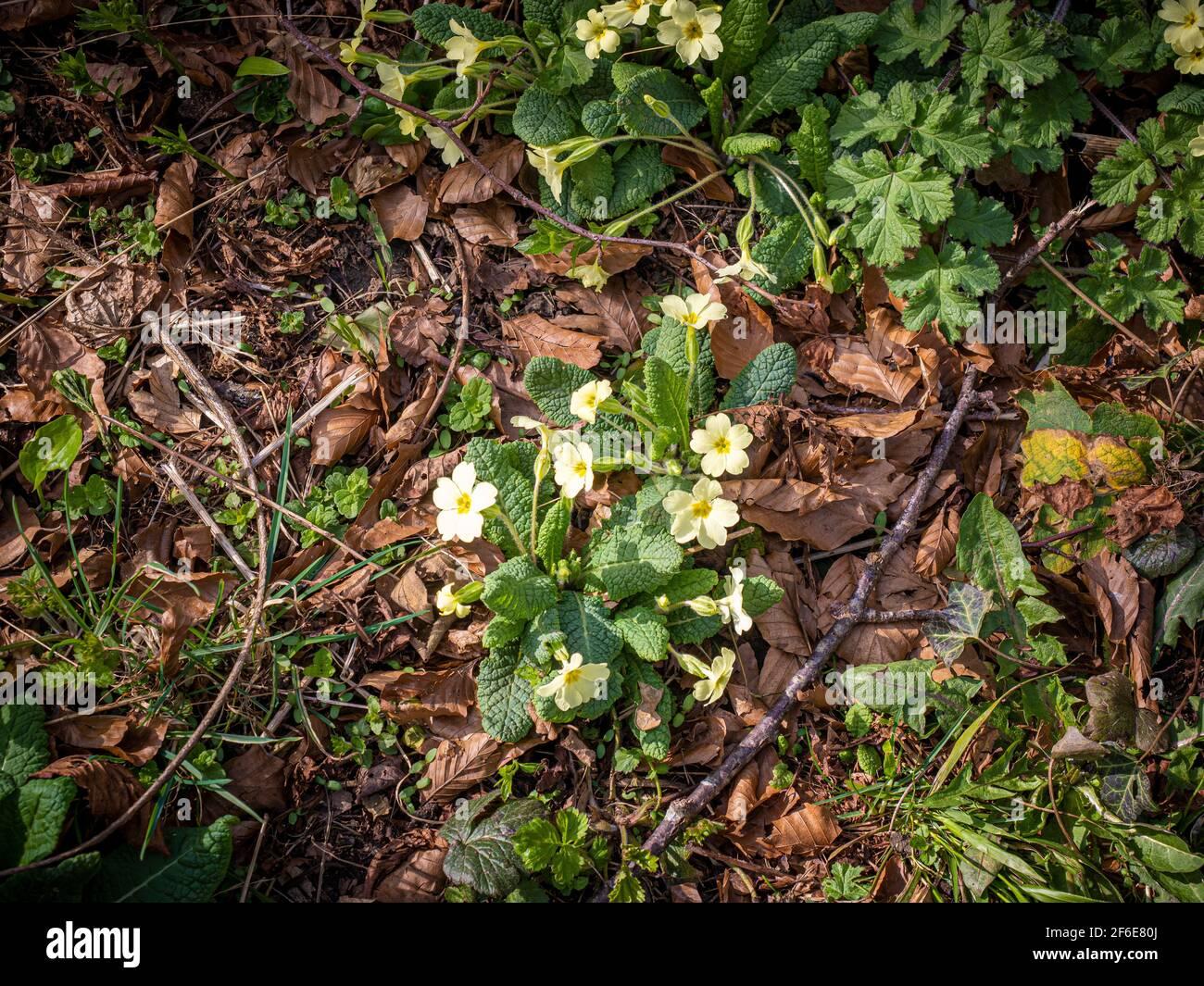 Fiori di primrose gialle che crescono naturalmente nel bosco Foto Stock