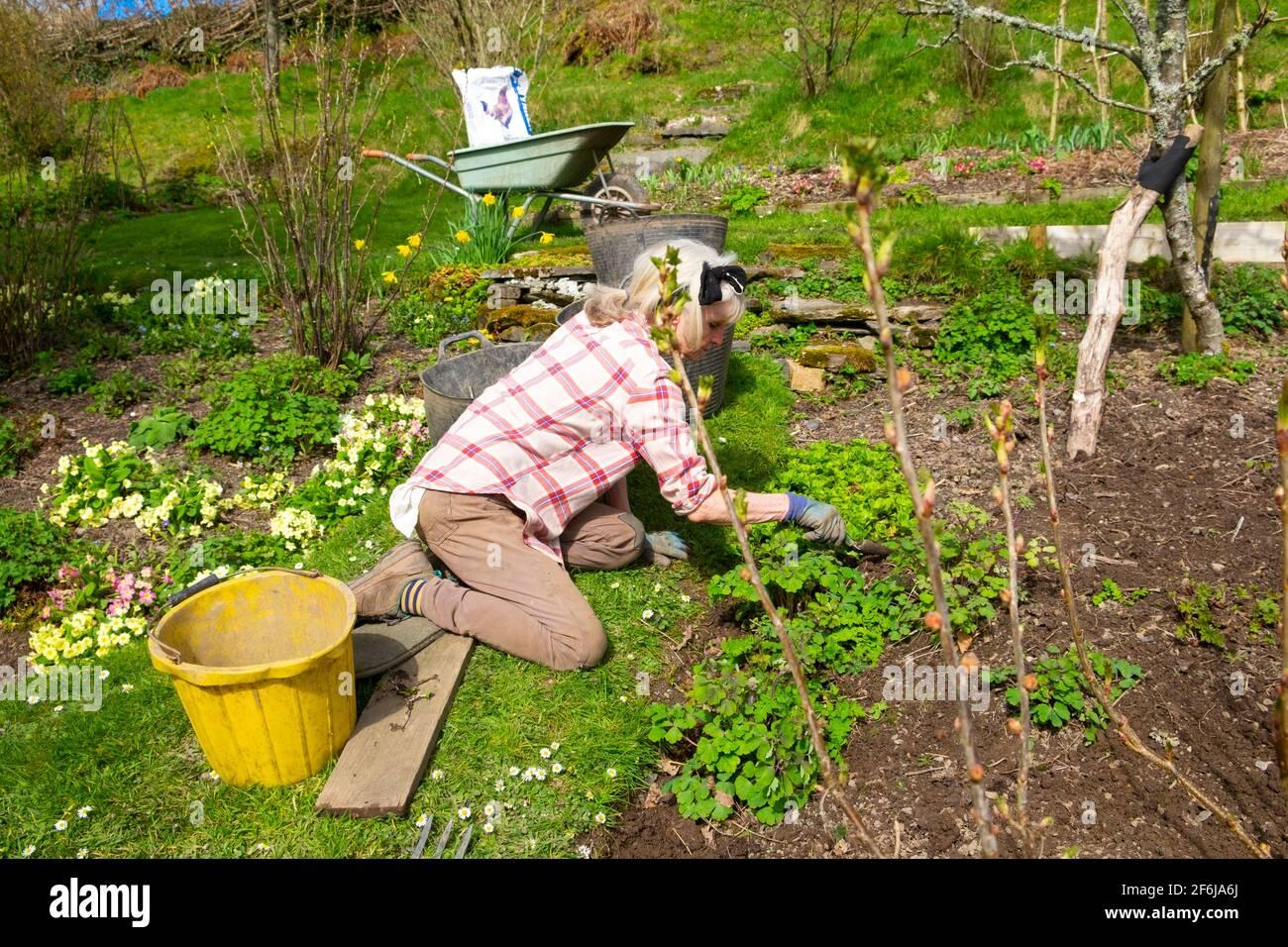 Donna anziana inginocchiata nel giardinaggio di orto di frutta morbida In primavera marzo erbacce preparando letti per piantare Galles Gran Bretagna REGNO UNITO KATHY DEWITT Foto Stock