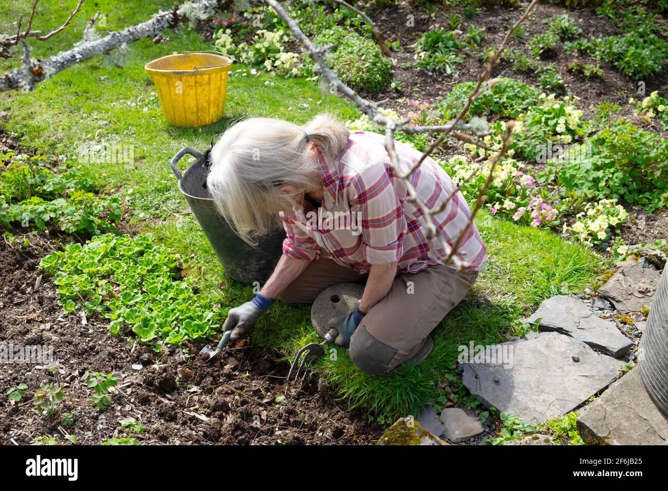 Donna anziana in ginocchia nel giardino di casa di primavera marzo Giardinaggio erbacce bordi del bordo con forchetta piccola cazzuola Gran Bretagna REGNO UNITO KATHY DEWITT Foto Stock