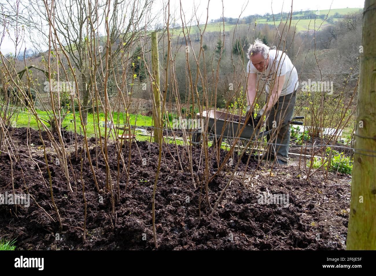 Uomo anziano giardiniere maschile pacciamatura lampone canne lamponi con composto Pacciame in primavera aprile giardino Carmarthenshire Galles UK KATHY DEWITT Foto Stock