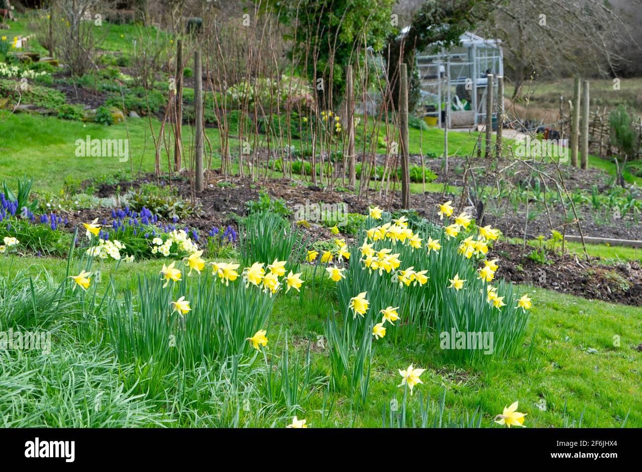 Vista di narcisi gialle che crescono in fiore piantato in un Prato in un giardino di casa di primavera e serra nel Carmarthensshire GALLES REGNO UNITO KATHY DEWITT Foto Stock