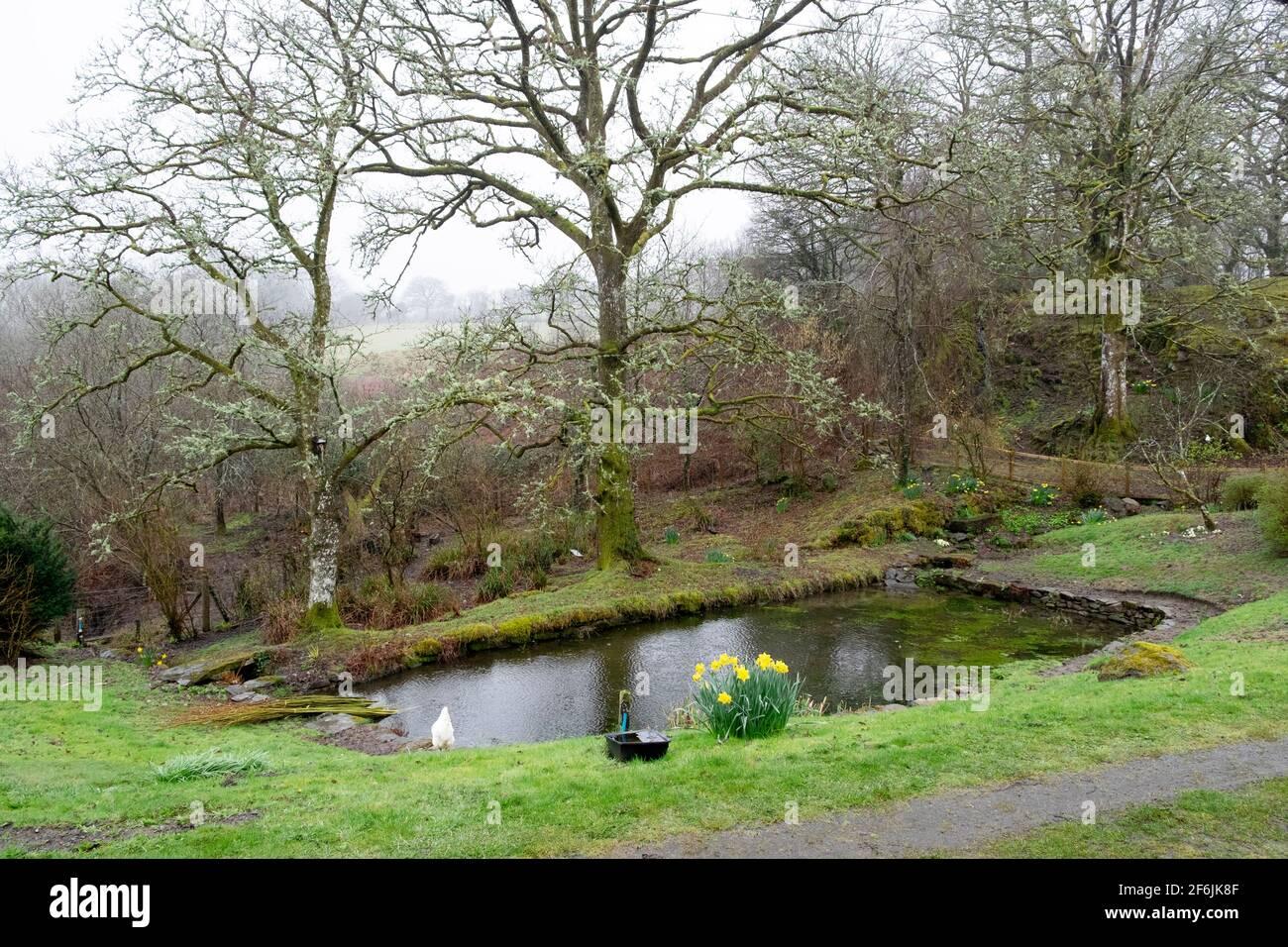 Giardino stagno piscina nel marzo 2021 nel paesaggio primaverile con grumo di narcisi e lichene su querce in Carmarthenshire Galles occidentale Regno Unito KATHY DEWITT Foto Stock
