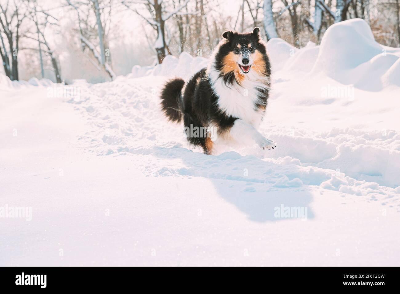 Funny giovane Shetland Sheepdog, Sheltie, Collie ad esecuzione rapida all'aperto nel parco innevato. Giocoso Pet nella foresta d'inverno. Foto Stock