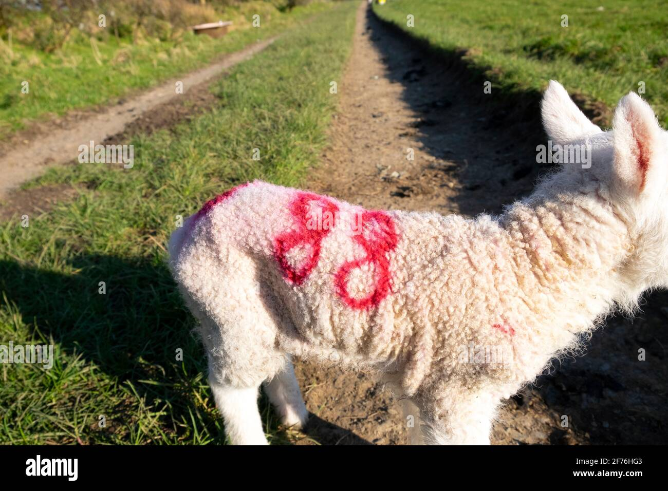 Agnello neonato con il numero 88 spruzzato in rosso è cappotto di lana in piedi da solo su una pista durante l'agnello Nel Galles del Carmarthenshshire Regno Unito KATHY DEWITT Foto Stock
