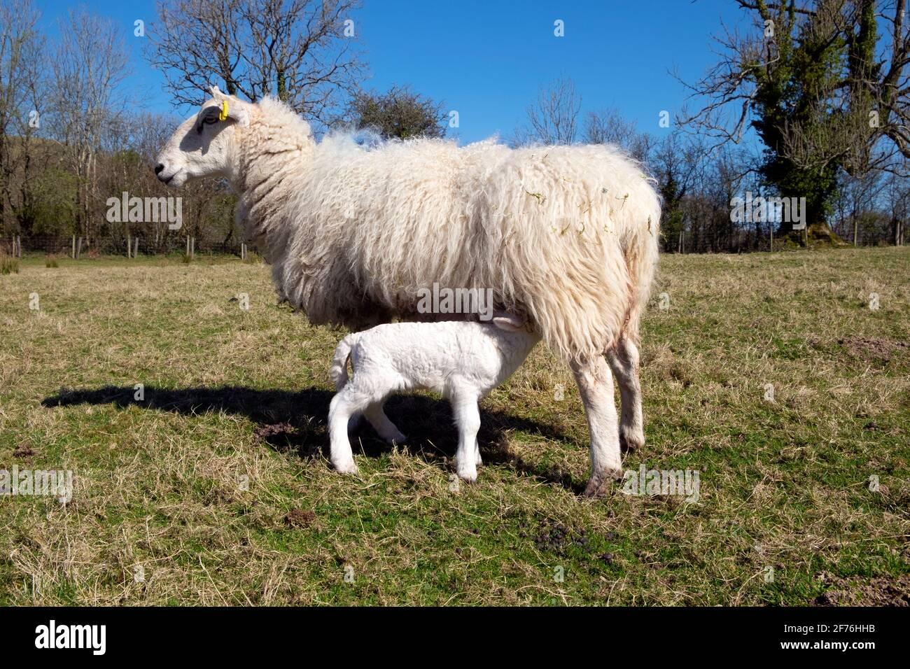 Allattamento pecora e agnello bambino succhiando da madre pecora in piedi In un campo in primavera sole sulla fattoria aprile Carmarthenshire Galles occidentale Regno Unito KATHY DEWITT Foto Stock