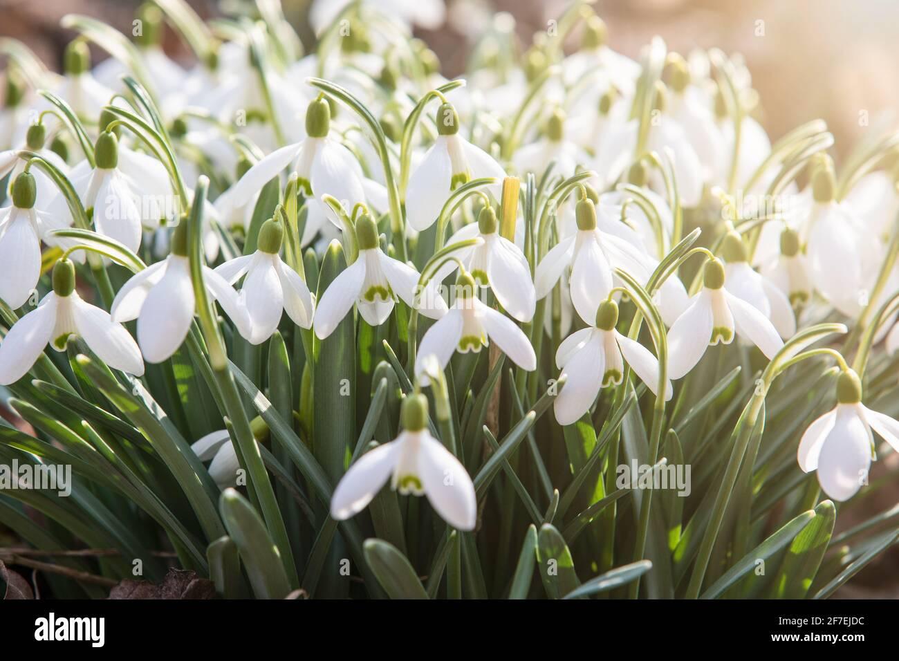 Nevicate fiorite, fiori bianchi. Giorno di primavera soleggiato. Foto Stock